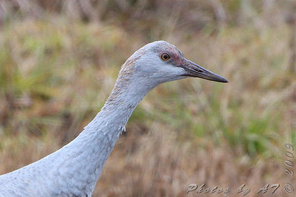 2009-12-20/21 Sandhill Crane