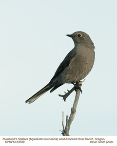 Townsend's Solitaire A53558.jpg
