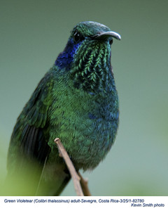 Green Violetear A82780.jpg