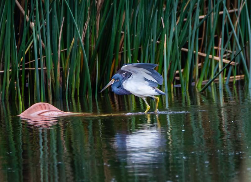 small blue heron wing spread 031619 (1 of 1).jpg
