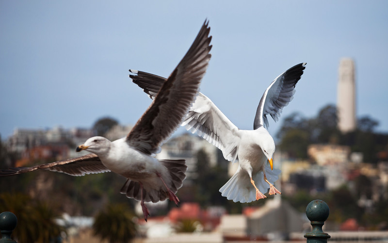 Seagulls in front of Coit Tower