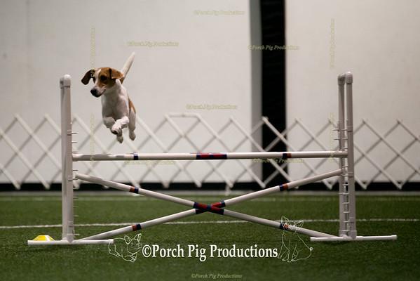Corgi/ Beagle/ Hound /Swedish Vallhund