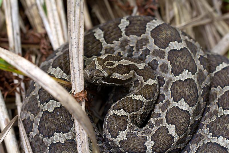 Same Eastern Massasauga Rattlesnake