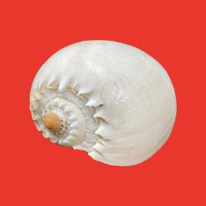 Medium Conch Shelll