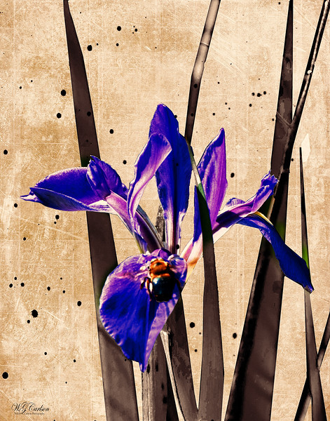 blue lili (1 of 1).jpg