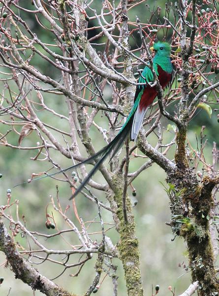 Resplendent Quetzal Costa Rica 2003 2004 2013