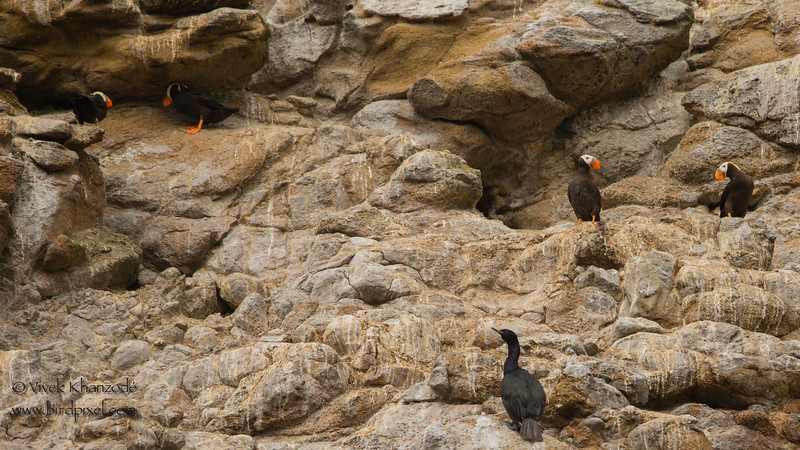 Nesting Tufted Puffins -  Farallon National Wildlife Reguge,  CA, USA