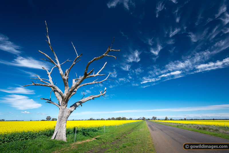 Scenic country road, passing through canola fields, near Elmore