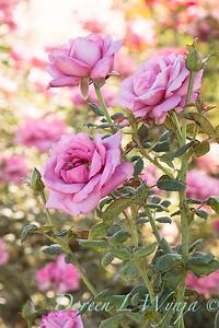 J&P Roses Sept
