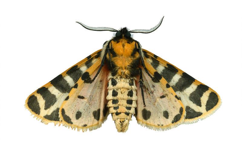 Tiger Moth - ventralGrammia incrorupta