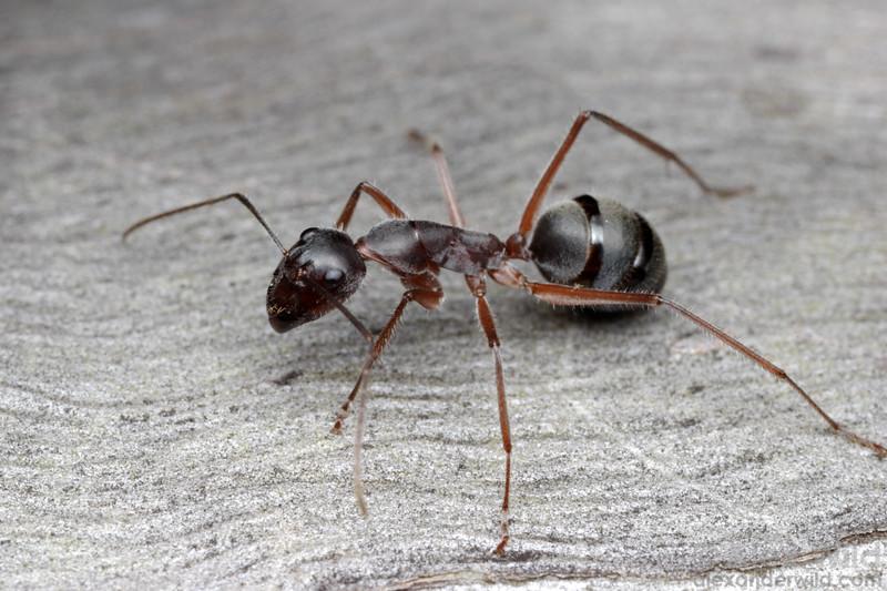 Camponotus gouldianus  Poochera, South Australia