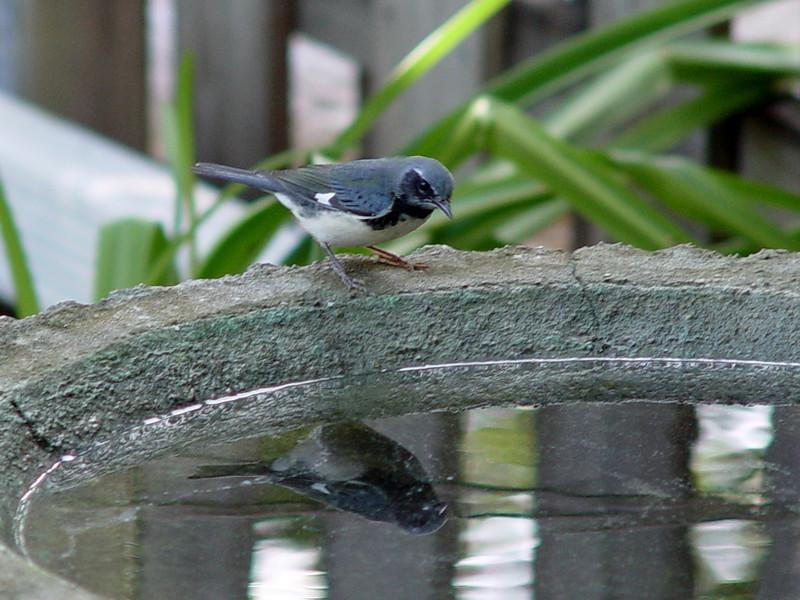 Black-throated Blue Warbler [male]