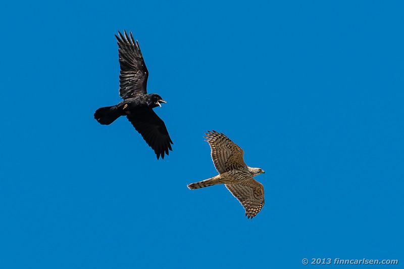 Duehøg (Goshawk - Accipiter gentilis) og ravn (Raven - Corvus corax)