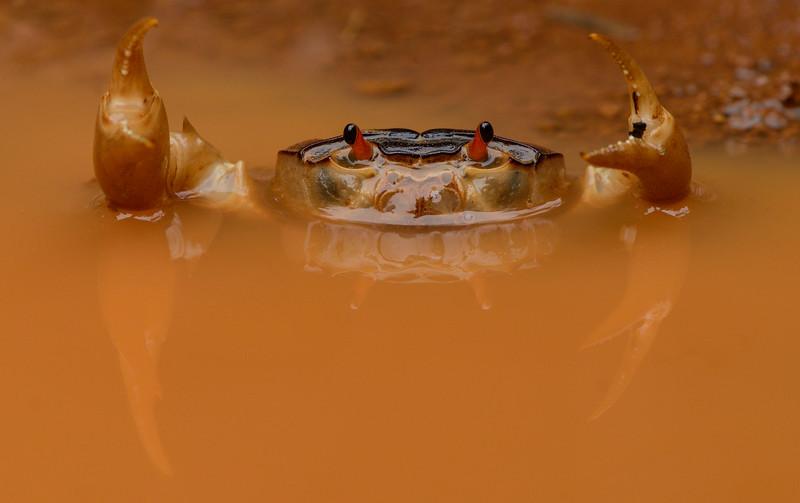 Crab-hercules-agumbe.jpg
