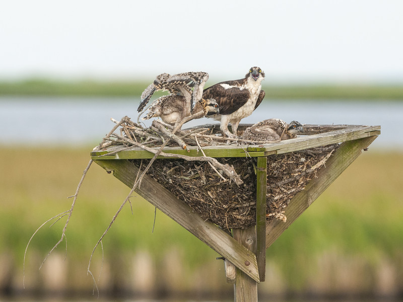 Osprey Mom and Chicks
