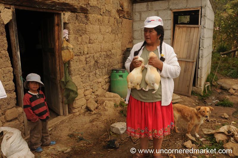 Raising Guinea Pigs - Near Cuenca, Ecuador