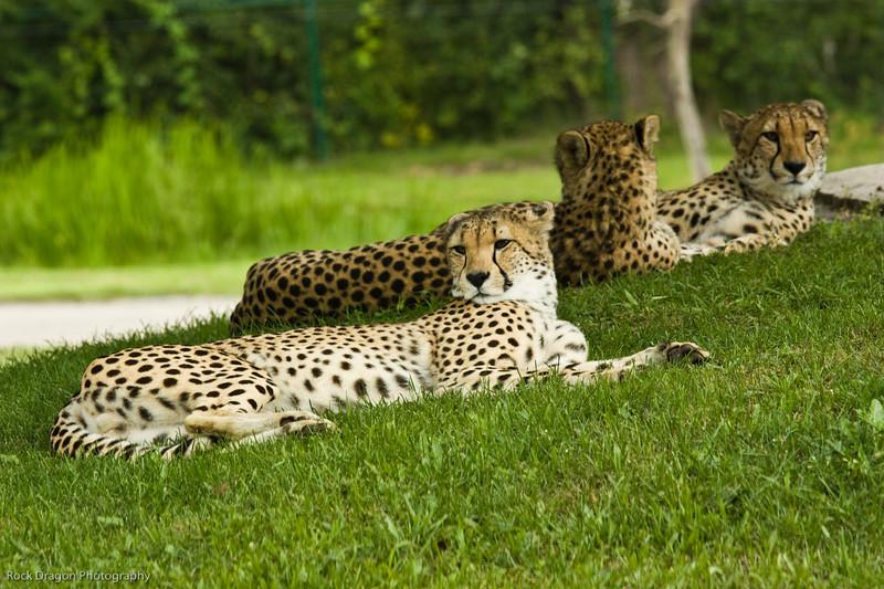 Cheetahs, African Lion Safari, Ontario Canada.
