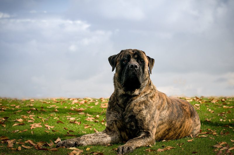 20170116_Butcher_El Mounstro_Mastiff Revised.jpg