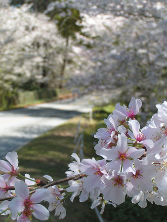 Yoshino Cherry Trees in Macon Georgia