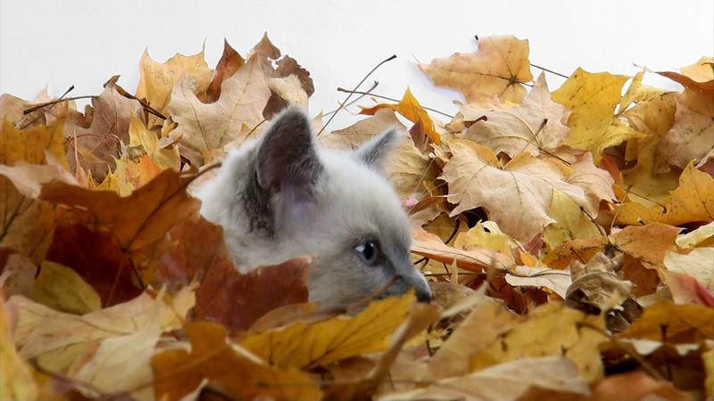 kitten_leaves_07.mov