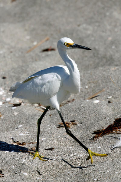 Snowy Egret is a heron with white plumage, yellow eyes and feet