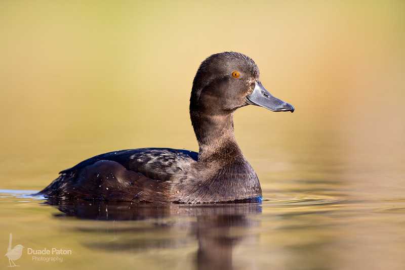 New Zealand Scaup - Female