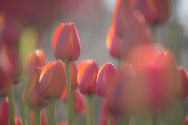 April 11 - Spring tulips.jpg