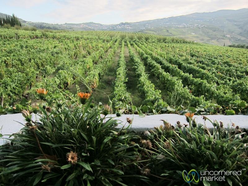 Quinta de Pacheca Rows of Grapes - Douro Valley, Portugal