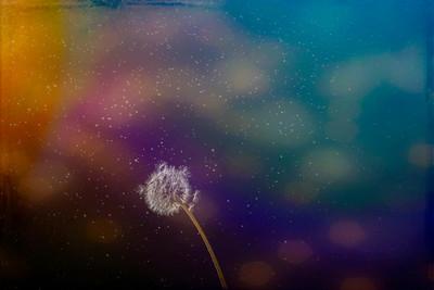 Macro photography - dandelions