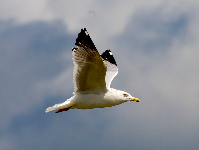 Another look at our Herring gull