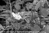 Cryptic Wood White - Leptidea juvernica (13)