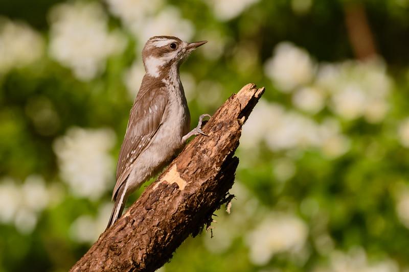 Juvenile Hairy Woodpecker