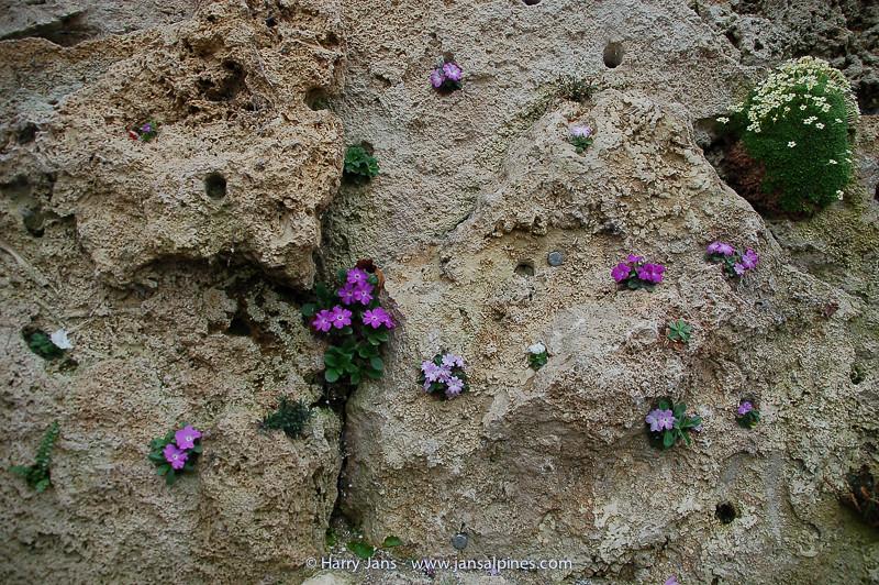 tufa wall in alpine house with Primula allionii