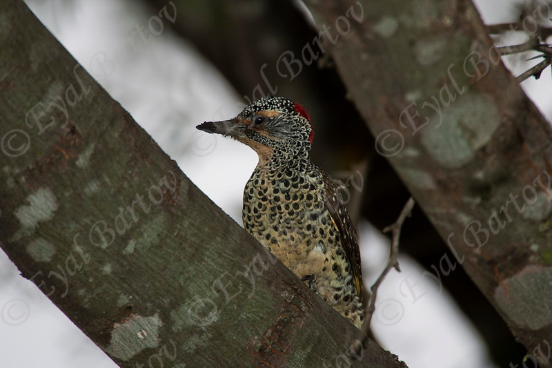 Mombasa Woodpecker_Masai Mara Kenya_8.2010_Eyal Bartov 1.jpg