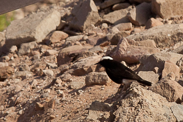 White-tailed Wheatear