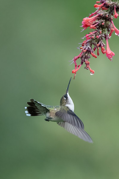 #1745 Ruby-throated Hummingbird