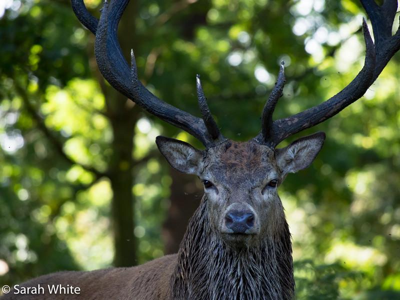 Deer rut_260915_668.jpg