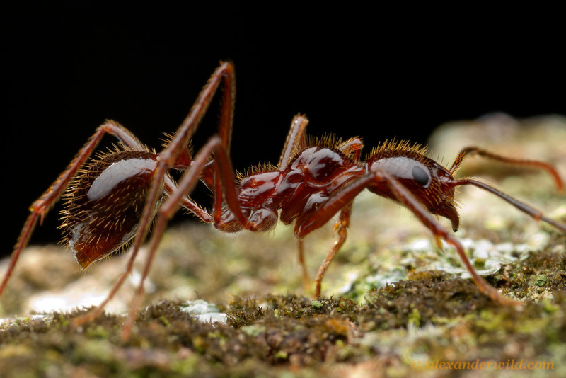 Megalomyrmex leoninus