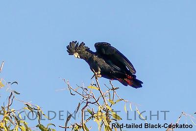 Red-tailed Black-Cockatoo, Australia