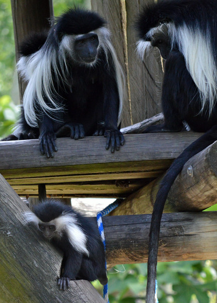 Colobus Monkeys with 6 mos old baby