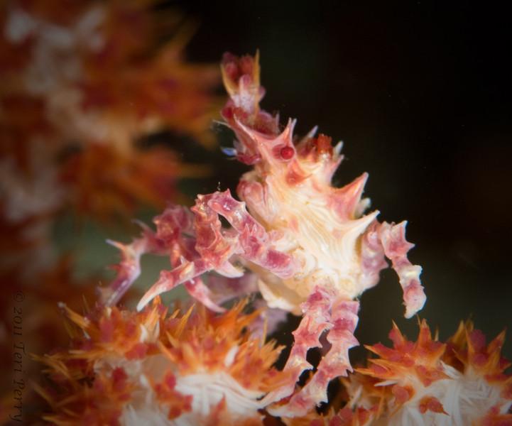 crab dendroneptha_DSC2469.jpg