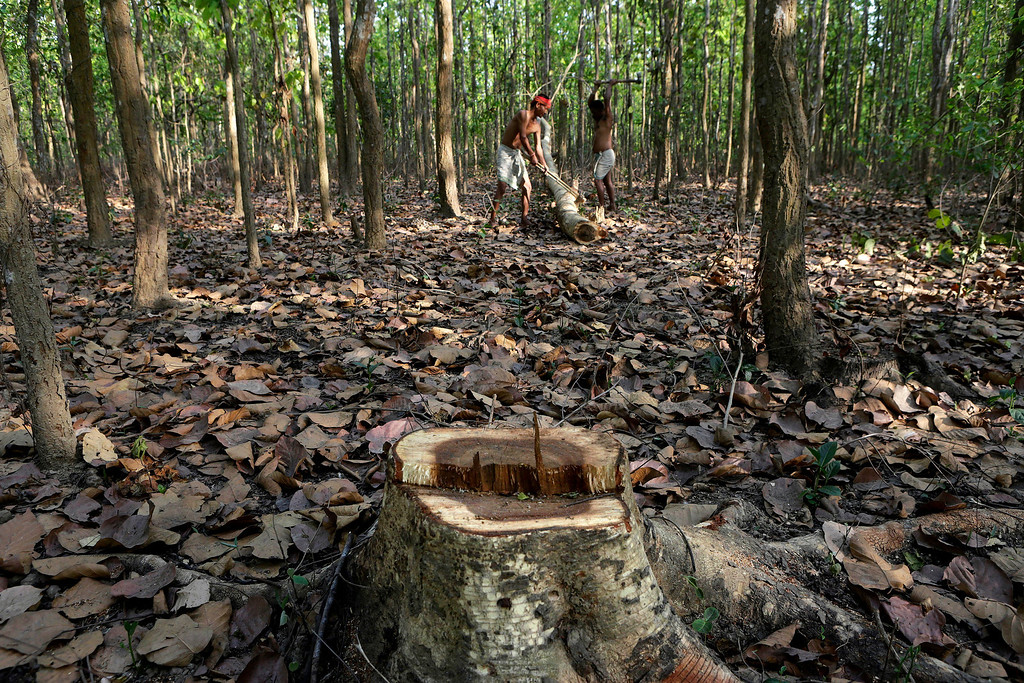 . Villagers cut a Sal tree for firewood at Nagopara forest, about 80 kilometers (50 miles) west of Gauhati, India, Tuesday, April 22, 2014, on Earth Day. (AP Photo/Anupam Nath)