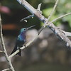 2017_ sapphire-throated hummingbird_Torti_Darien_Panama_AQ3T2001