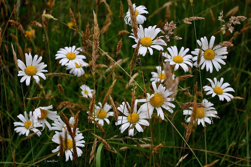 field of flowers 7-8-2012.jpg