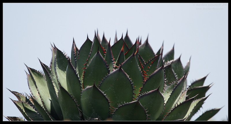 Shaw's Agave, Cabrillo National Monument, San Diego County, California, June 2011