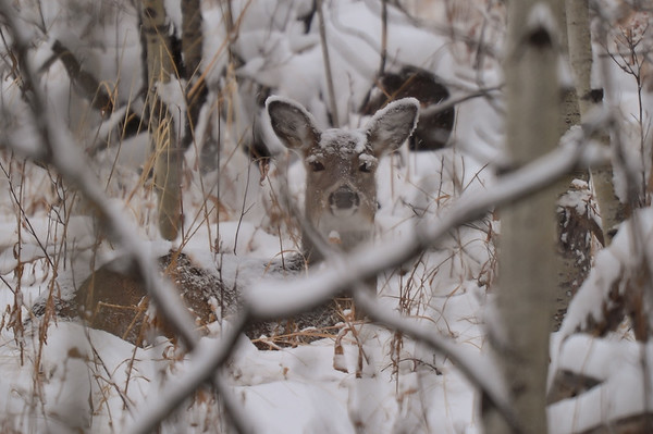 11 2011 Nov 30 Female Deer Snow Storm