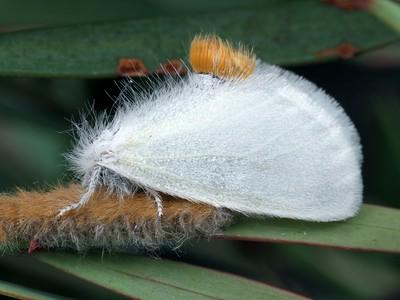 Lymantriidae
