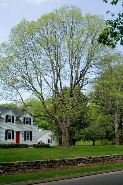 Maple In Spring 2.jpg