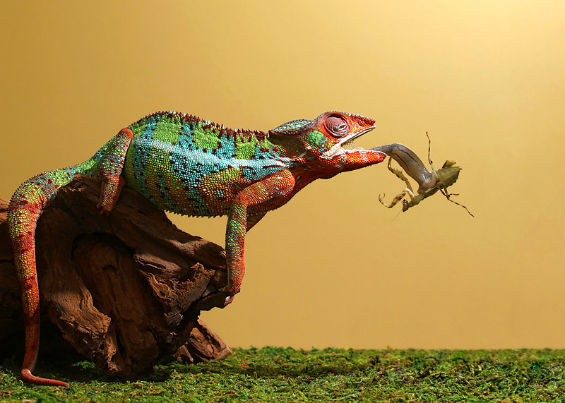 Chameleon Eats A Creobroter Mantis.jpg