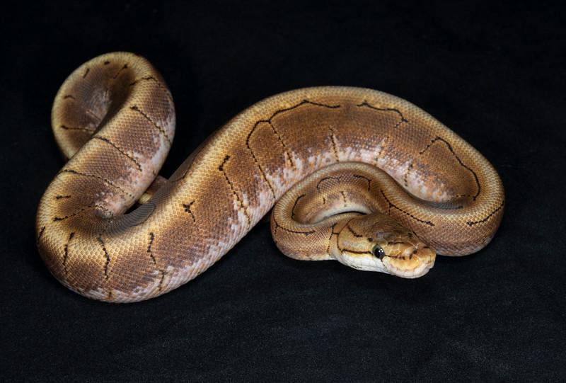 B2155, Female Spinner